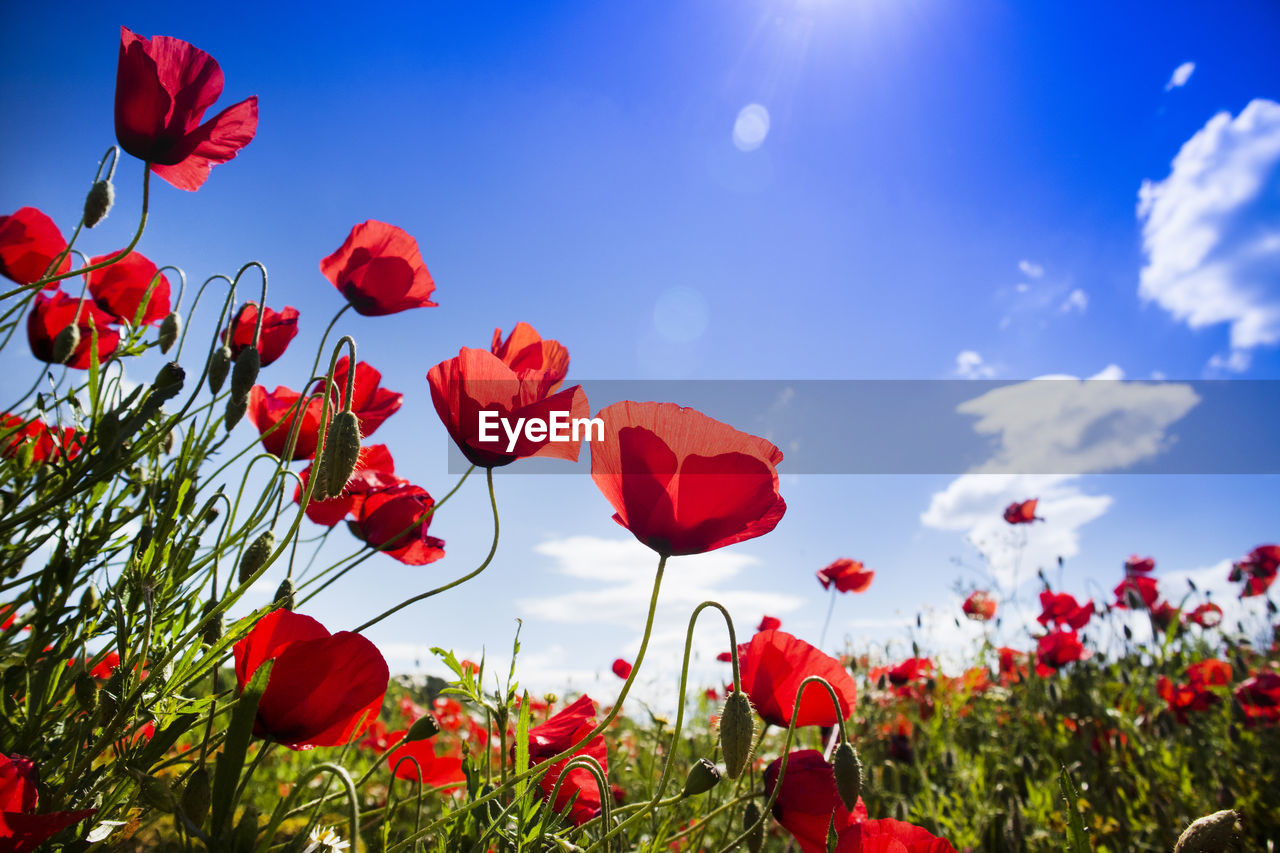 plant, beauty in nature, flower, flowering plant, petal, fragility, red, vulnerability, freshness, growth, sky, flower head, poppy, nature, close-up, inflorescence, no people, land, field, plant stem, outdoors