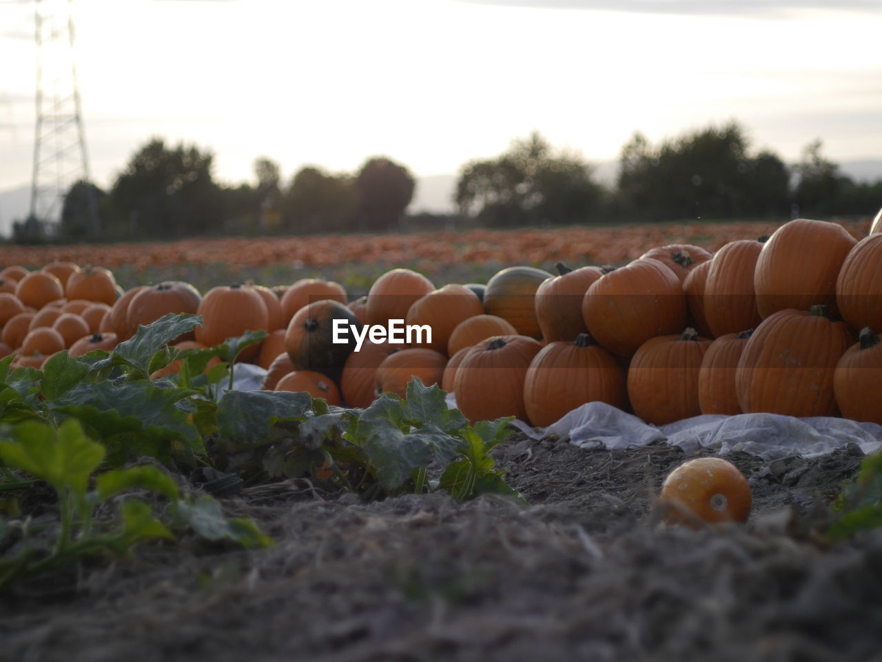 vegetable, large group of objects, abundance, in a row, pumpkin, outdoors, arrangement, day, no people, field, stack, food and drink, food, nature, freshness, close-up, sky