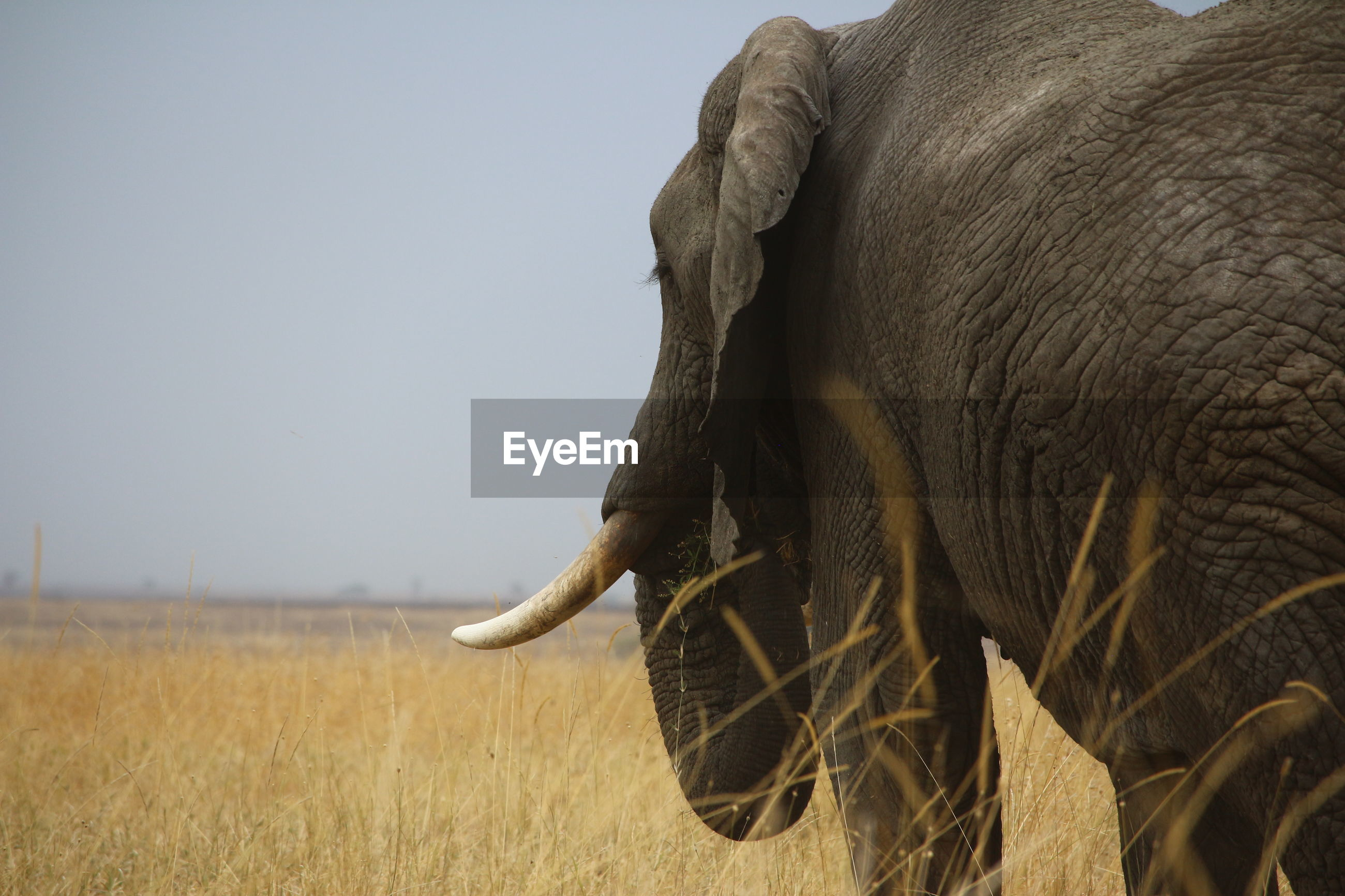 Close-up of elephant on grassy field against sky