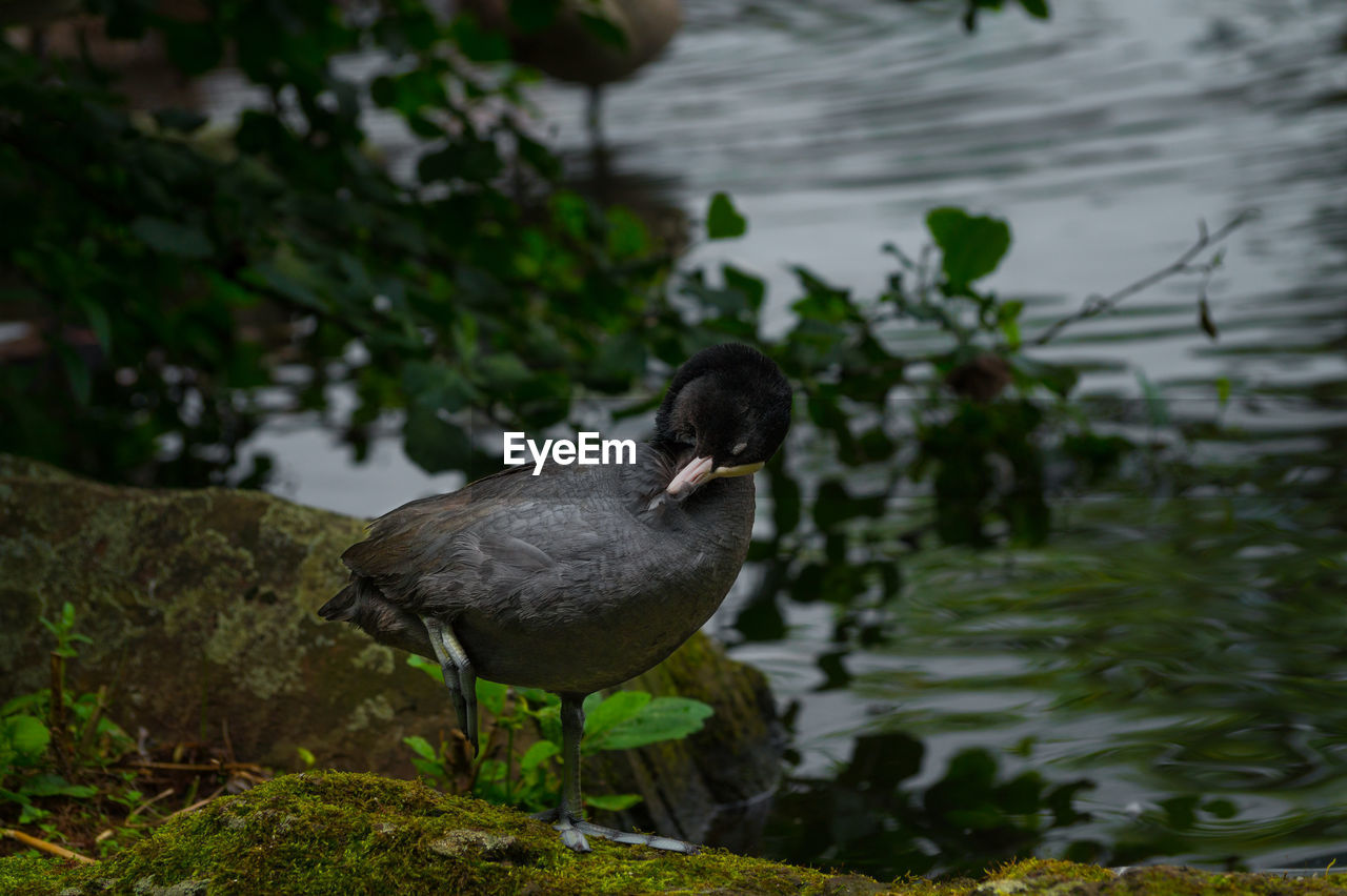 High Angle View Of Coot Against Lake