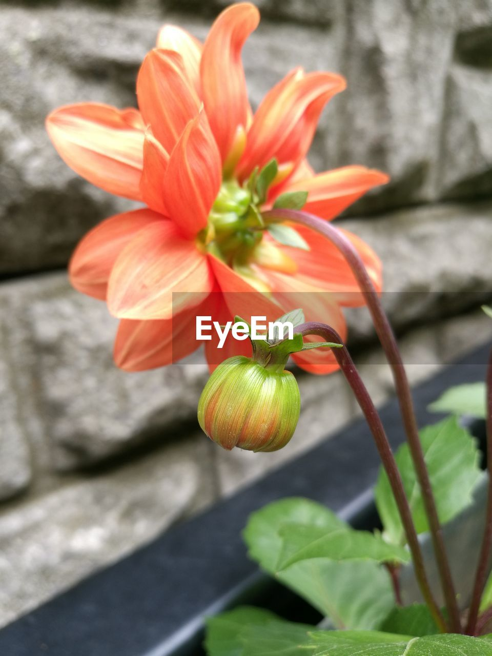 flower, flowering plant, plant, freshness, growth, beauty in nature, petal, fragility, vulnerability, close-up, flower head, inflorescence, nature, focus on foreground, no people, day, plant part, leaf, botany, red, outdoors