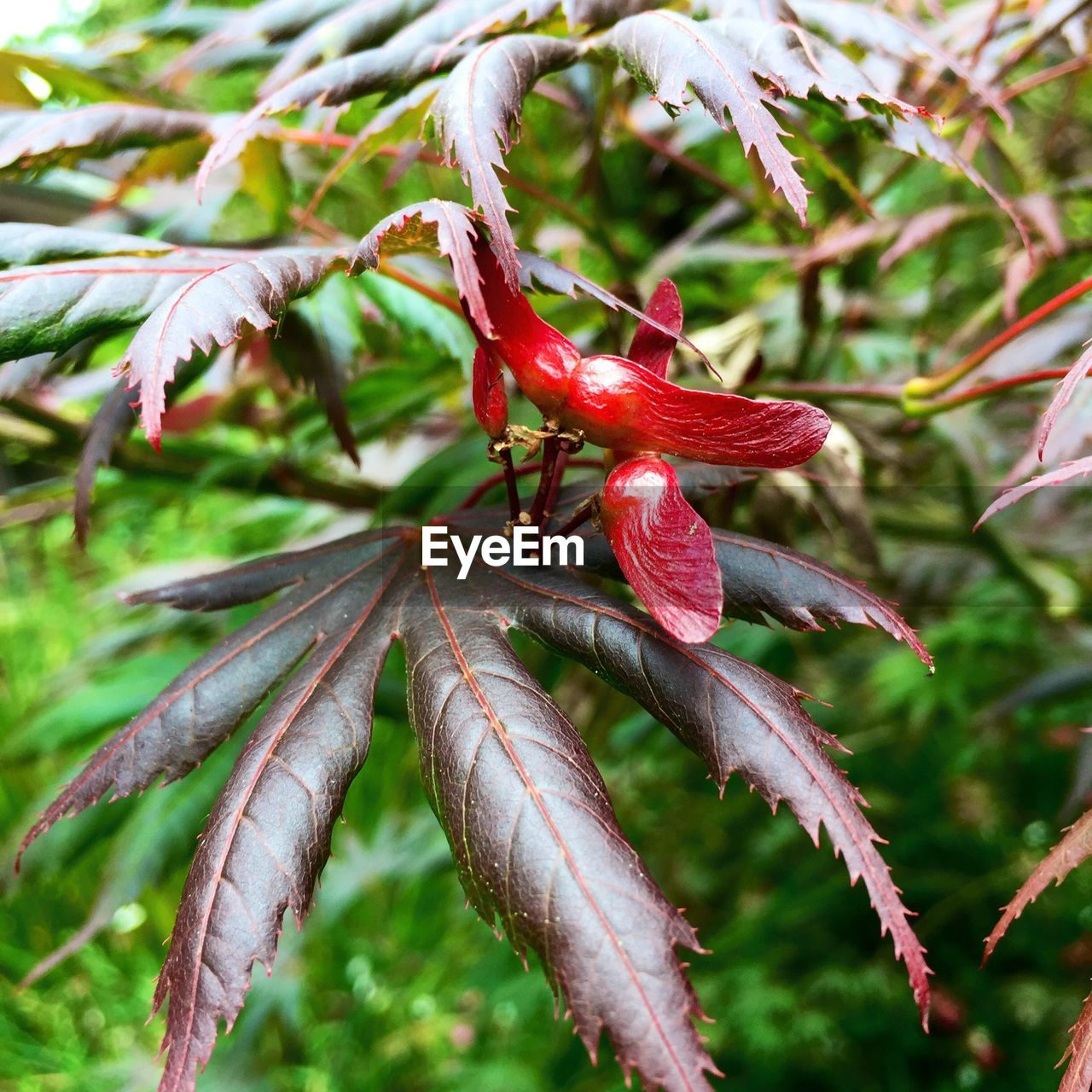 Close-up of fresh japanese maple tree