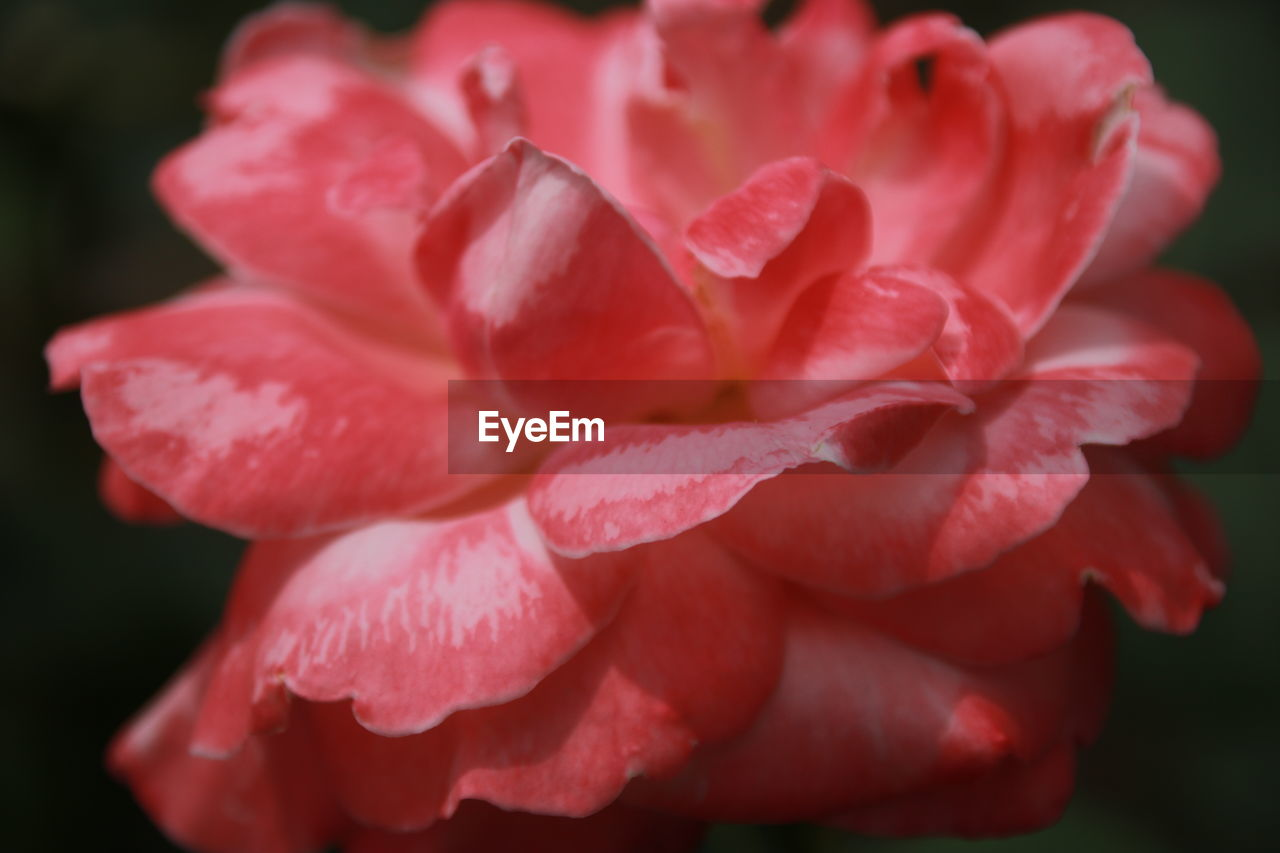 plant, beauty in nature, flowering plant, petal, flower, close-up, inflorescence, freshness, vulnerability, fragility, flower head, growth, nature, pink color, no people, day, red, focus on foreground, outdoors, softness, black background