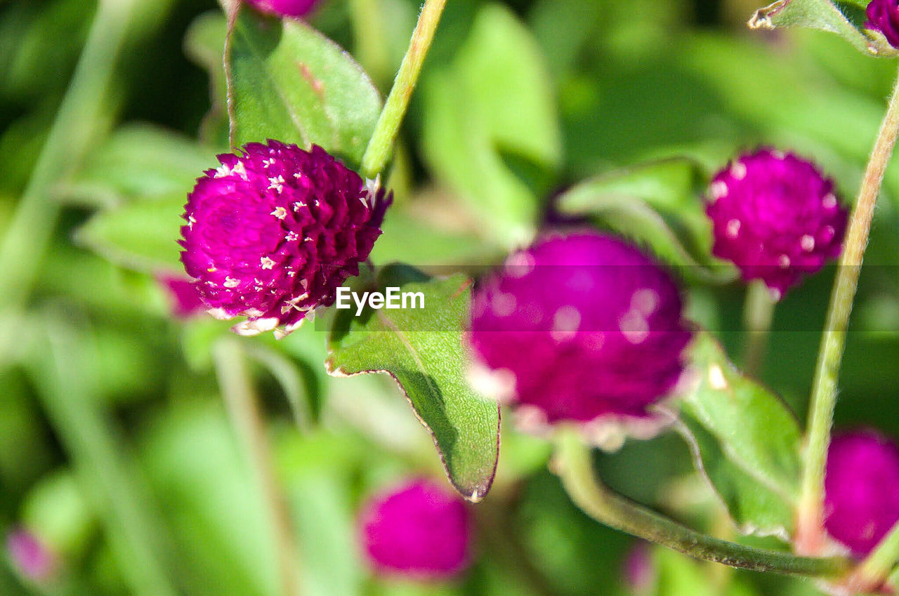 purple, growth, nature, plant, outdoors, no people, day, close-up, green color, leaf, freshness, beauty in nature, flower