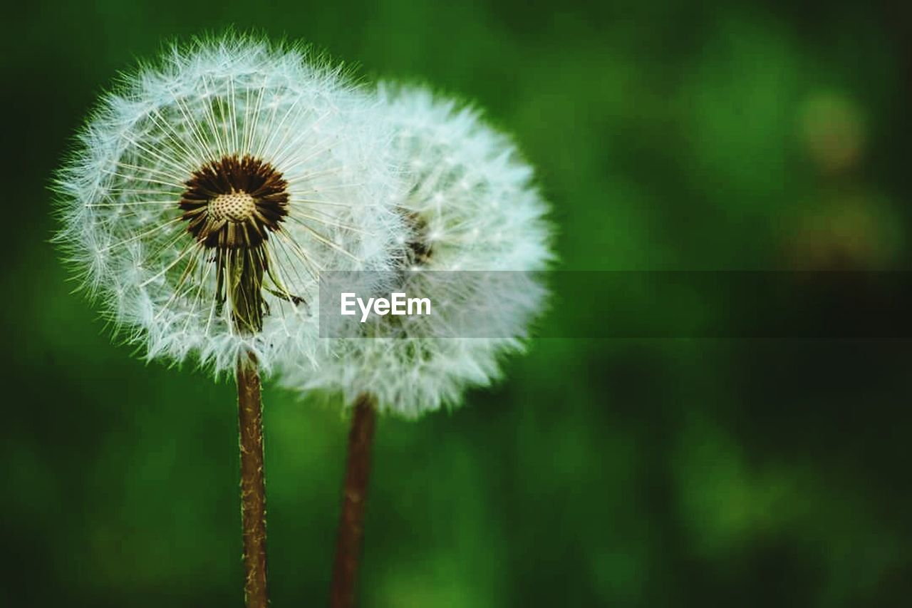 flower, fragility, growth, nature, dandelion, focus on foreground, plant, close-up, beauty in nature, freshness, softness, flower head, no people, seed, day, outdoors