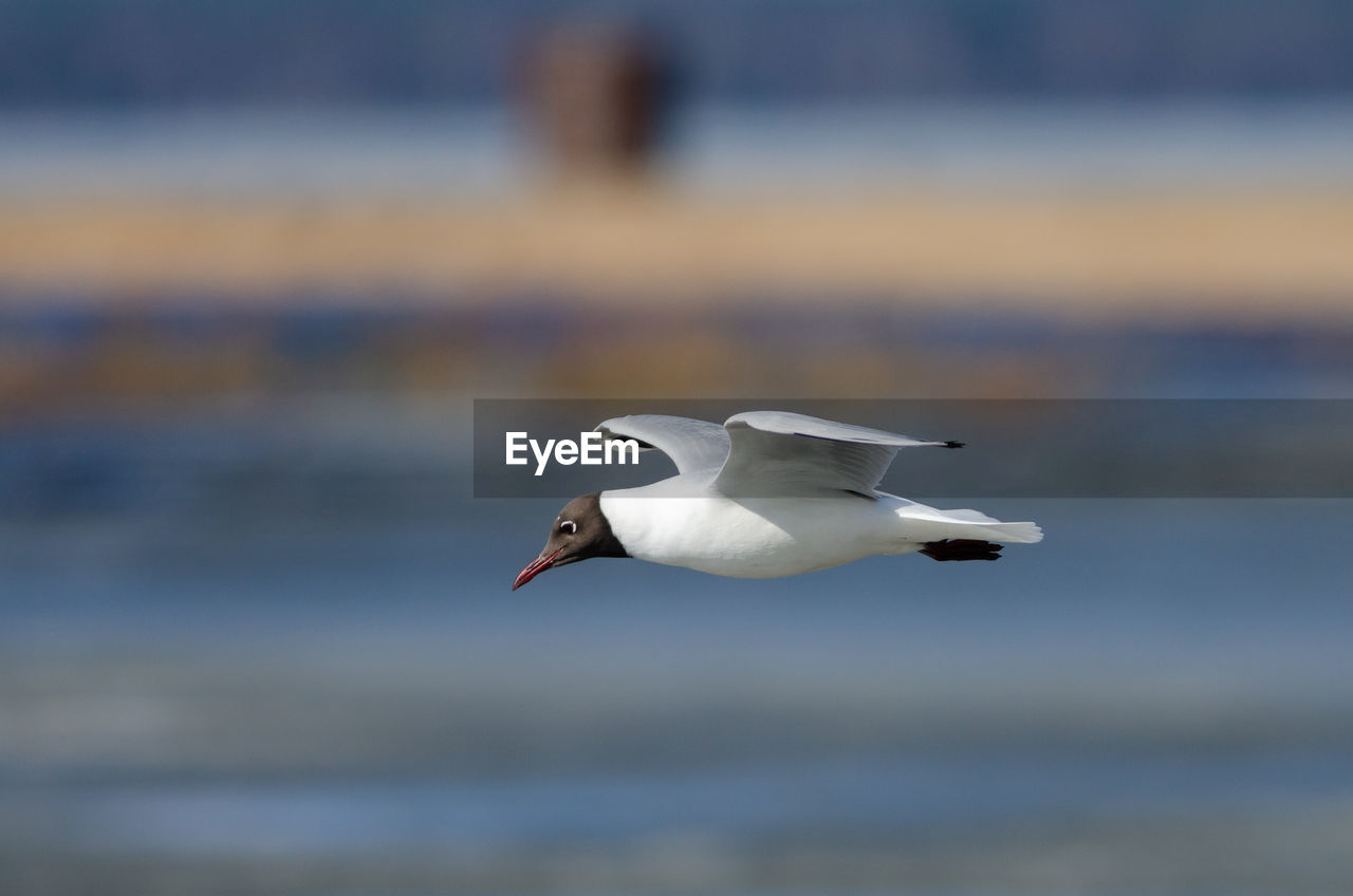 animal themes, bird, animals in the wild, animal, animal wildlife, vertebrate, one animal, water, flying, focus on foreground, no people, sea, spread wings, day, nature, white color, beauty in nature, waterfront, outdoors, seagull