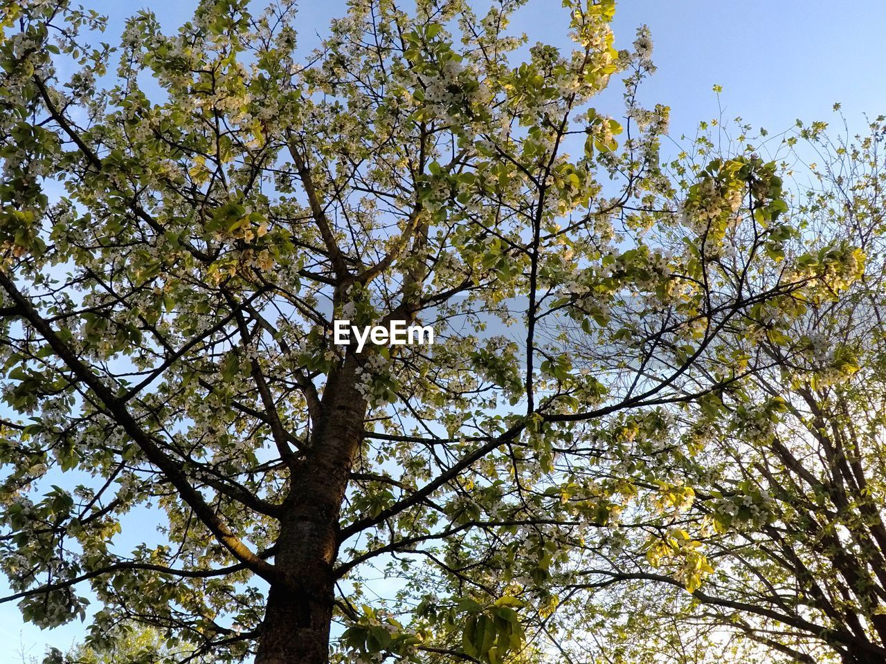 tree, plant, low angle view, sky, branch, growth, beauty in nature, day, nature, no people, tranquility, flower, outdoors, flowering plant, clear sky, springtime, blossom, sunlight, tree trunk, fragility, tree canopy, spring