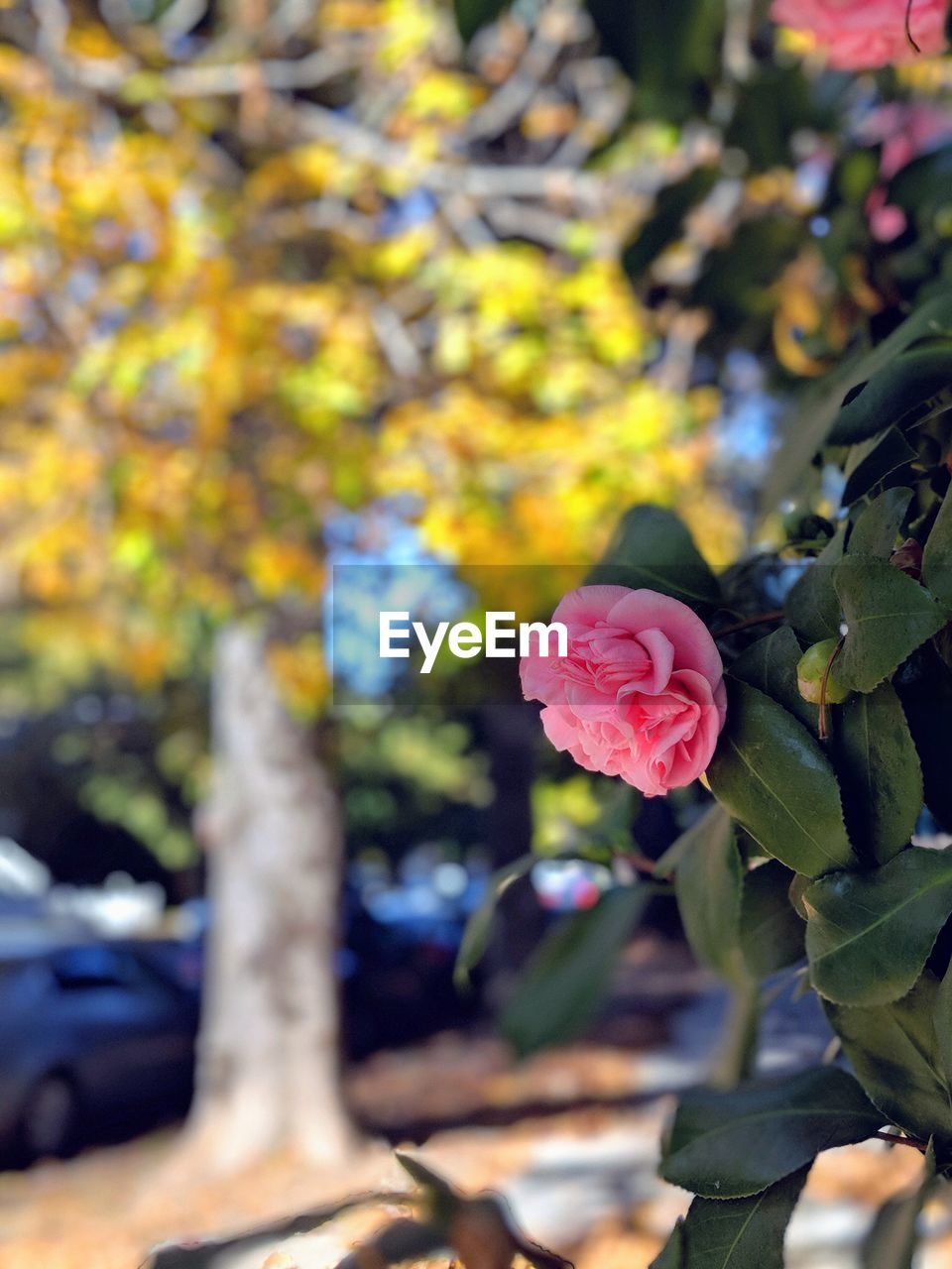 plant, flower, beauty in nature, flowering plant, growth, nature, freshness, close-up, leaf, plant part, petal, focus on foreground, vulnerability, day, fragility, rose, rose - flower, no people, outdoors, tree, flower head