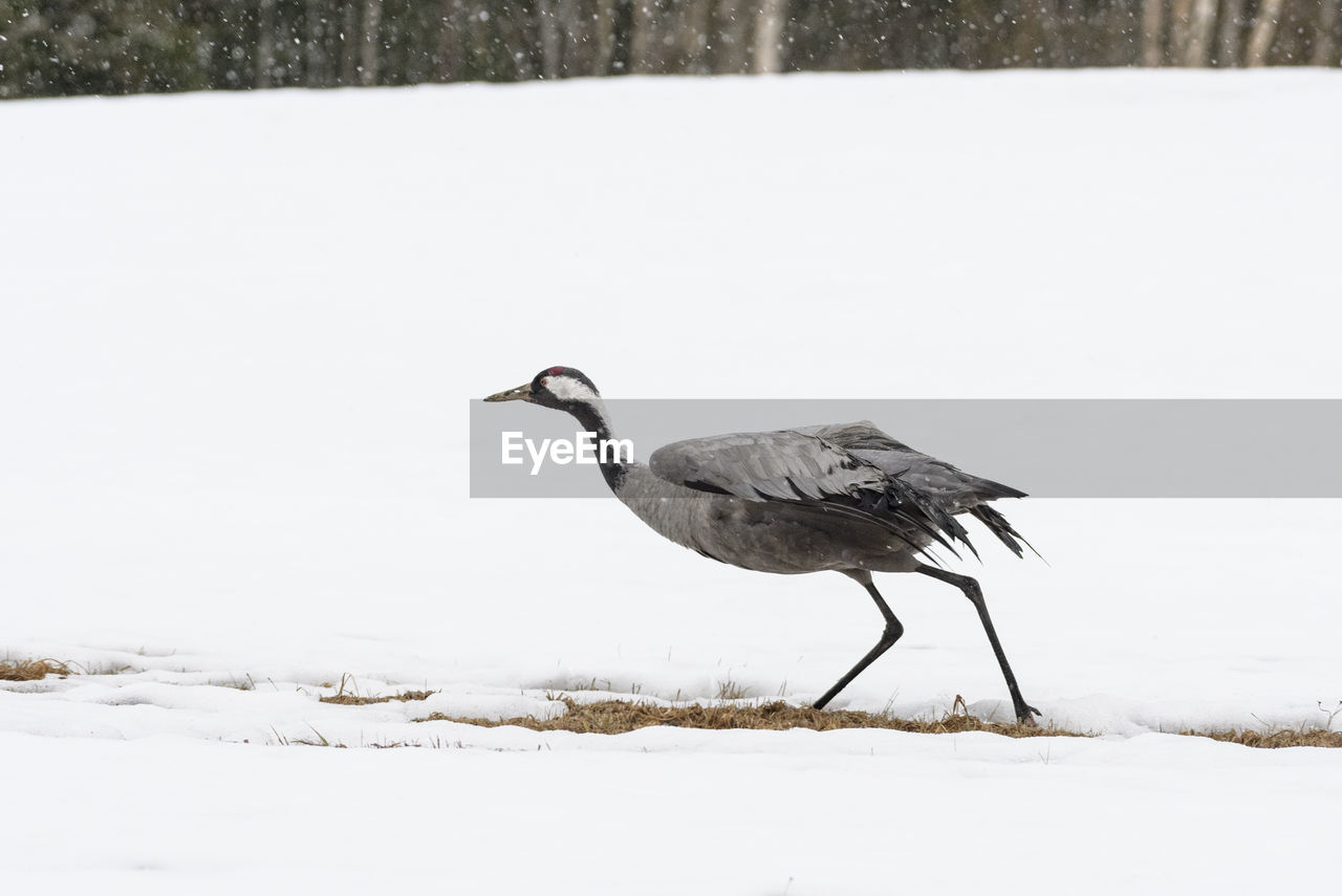Bird on a snow covered land