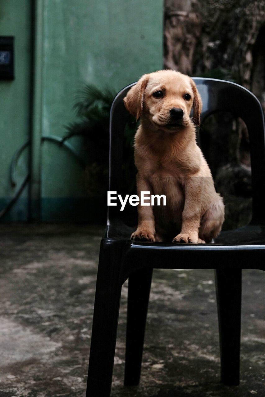 one animal, mammal, dog, canine, pets, domestic, domestic animals, sitting, focus on foreground, looking at camera, portrait, vertebrate, seat, front view, no people, day, puppy