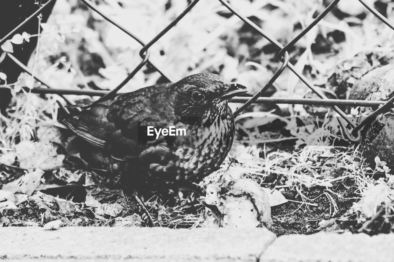 bird, animal, animal themes, vertebrate, one animal, animal wildlife, animals in the wild, nature, no people, day, field, close-up, land, eating, fence, outdoors, selective focus, full length, perching, boundary
