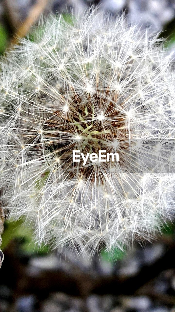 flower, dandelion, fragility, growth, nature, softness, flower head, uncultivated, white color, close-up, freshness, beauty in nature, wildflower, no people, plant, day, seed, outdoors, focus on foreground