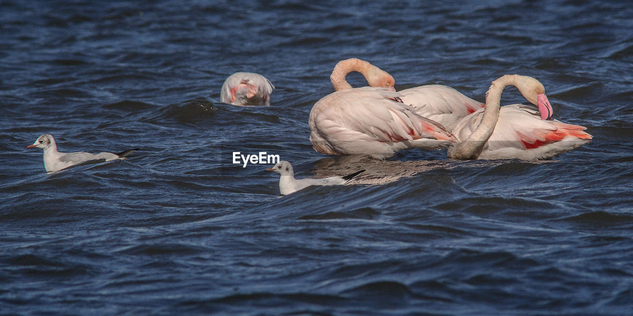 animals in the wild, animal themes, bird, water, animal wildlife, waterfront, lake, swan, nature, swimming, no people, water bird, rippled, day, pelican, outdoors, flamingo