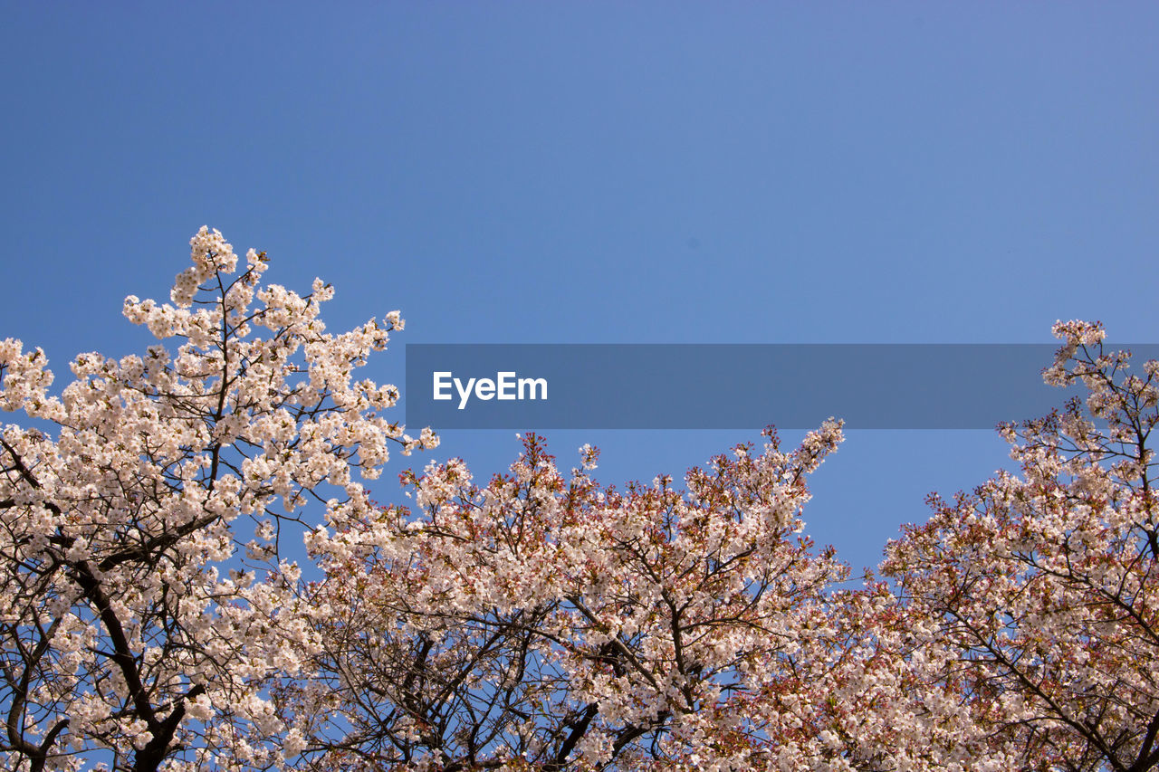 flower, tree, blossom, branch, nature, beauty in nature, springtime, fragility, low angle view, freshness, clear sky, growth, botany, apple blossom, no people, white color, orchard, day, blue, outdoors, close-up, sky