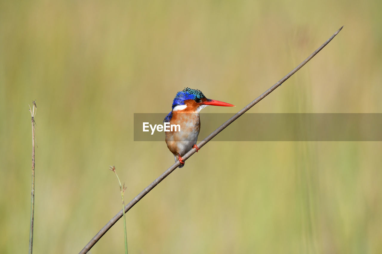 vertebrate, animal, one animal, bird, animal themes, animal wildlife, animals in the wild, perching, focus on foreground, kingfisher, plant, day, no people, close-up, nature, outdoors, beauty in nature, twig, selective focus, branch