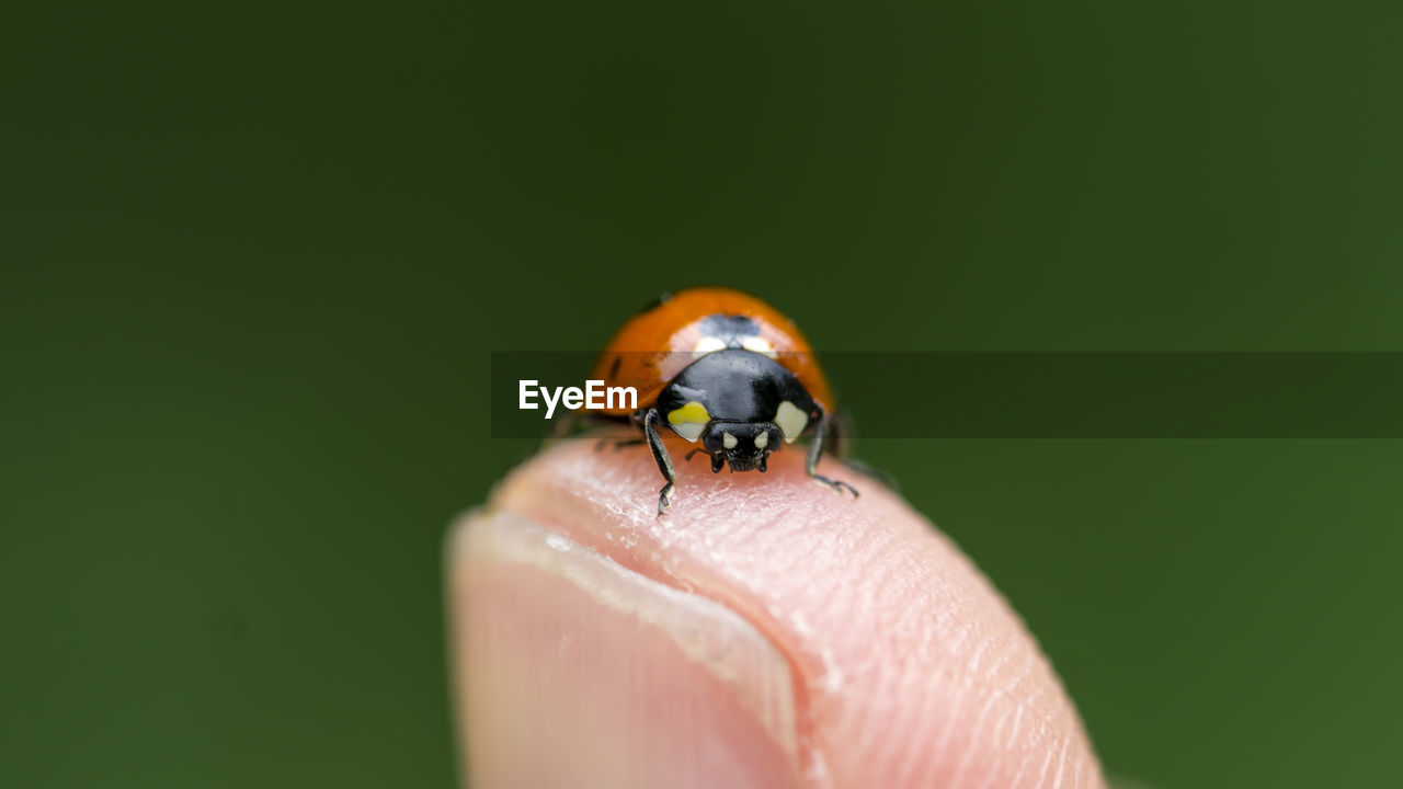 Macro Shot Of Ladybug On Finger