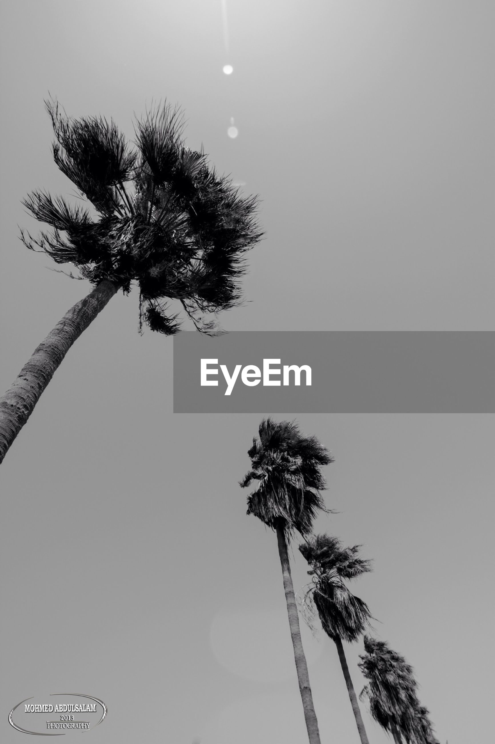 low angle view, palm tree, clear sky, tree, growth, silhouette, nature, tree trunk, tranquility, beauty in nature, tall - high, sky, copy space, branch, no people, outdoors, day, coconut palm tree, plant, tranquil scene
