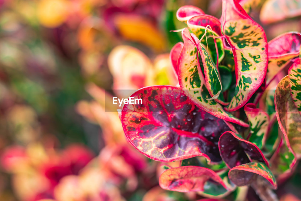 close-up, plant, no people, selective focus, freshness, focus on foreground, beauty in nature, day, growth, nature, flower, food and drink, red, outdoors, food, pink color, healthy eating, leaf, flowering plant, vulnerability, flower head
