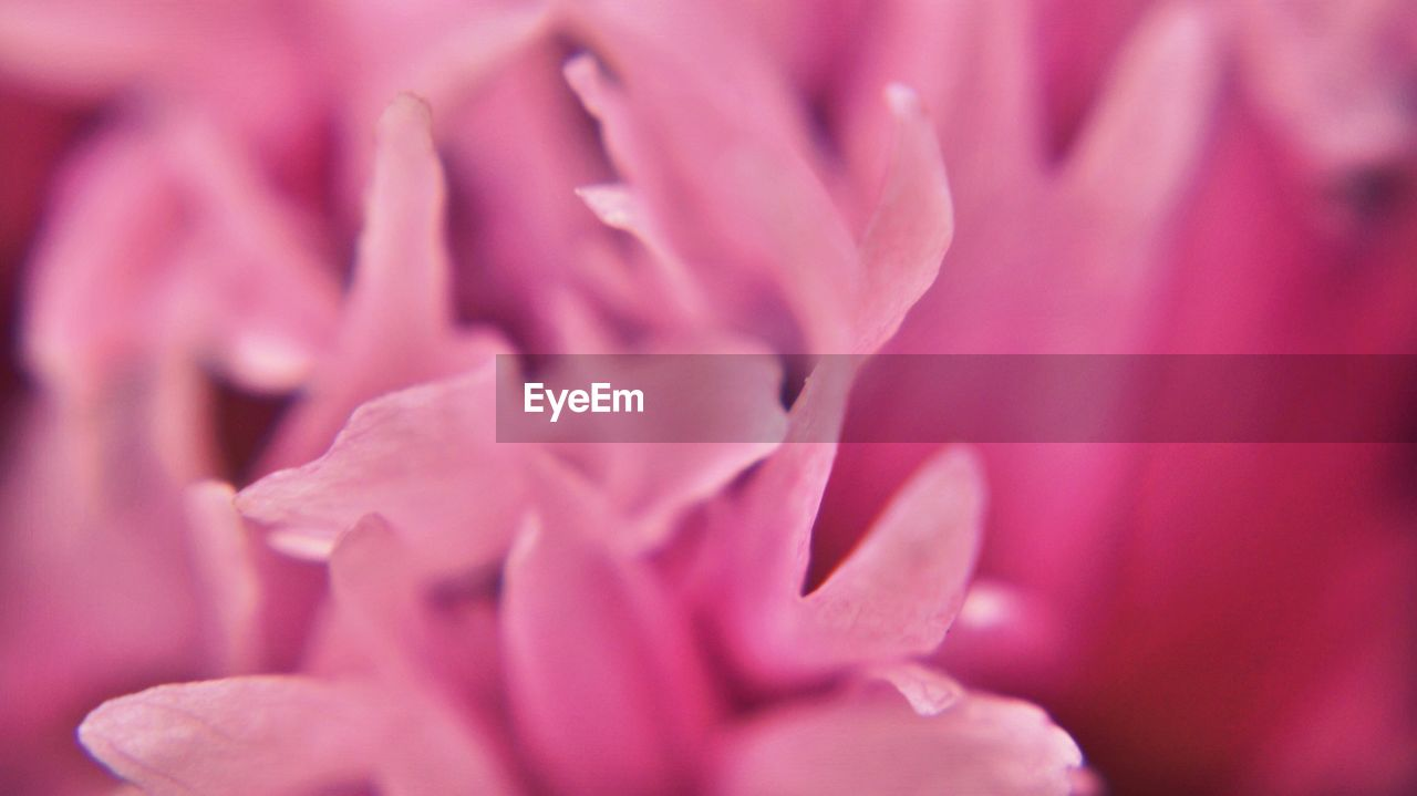 Extreme Close-Up of Peony Flower