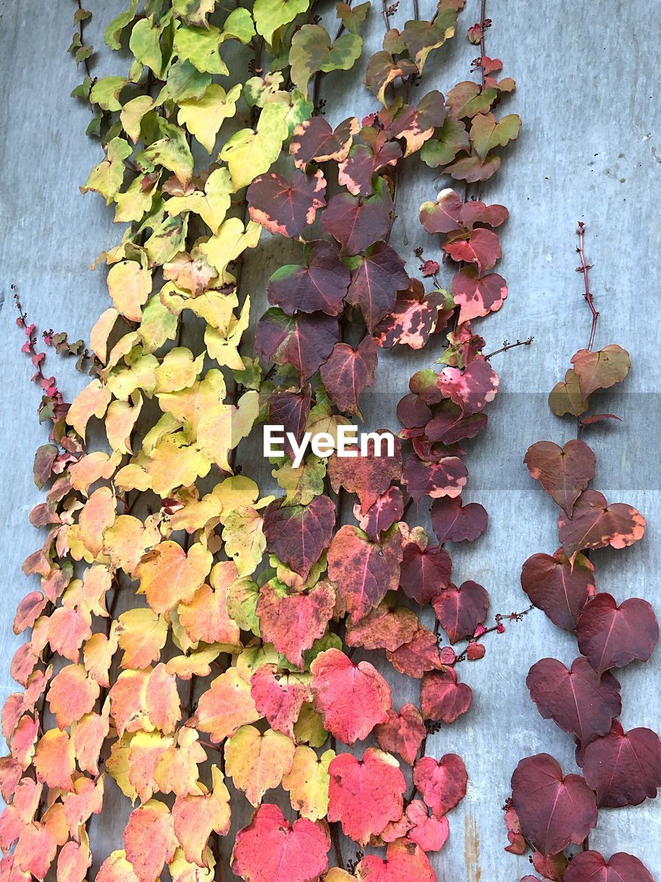 leaf, plant part, autumn, wall - building feature, no people, change, day, ivy, plant, nature, beauty in nature, close-up, multi colored, creeper plant, leaves, outdoors, growth, vulnerability, wall, dry, purple