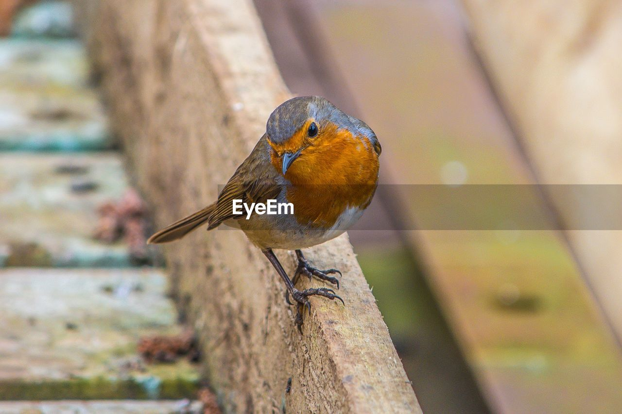 Close-up of robin perching on wooden railing