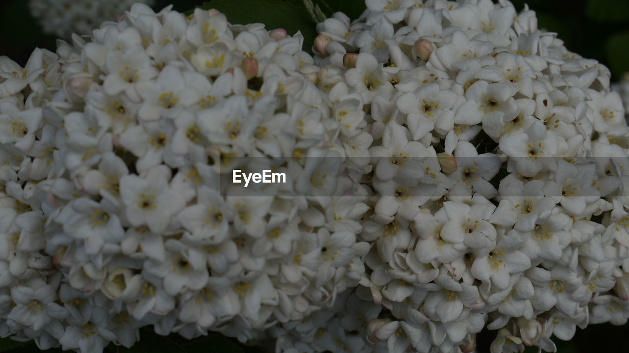 flower, fragility, beauty in nature, petal, nature, freshness, flower head, white color, no people, growth, plant, close-up, day, outdoors, blooming