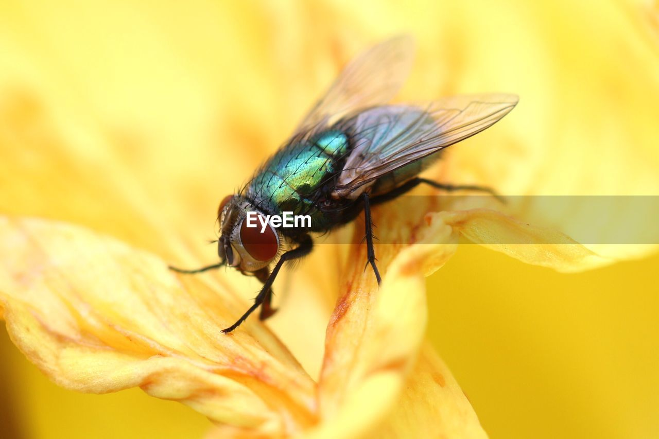 invertebrate, insect, animal, animal themes, animal wildlife, one animal, animals in the wild, close-up, selective focus, animal wing, fly, housefly, day, flower, flowering plant, no people, plant, beauty in nature, nature, vulnerability, outdoors, flower head, animal eye