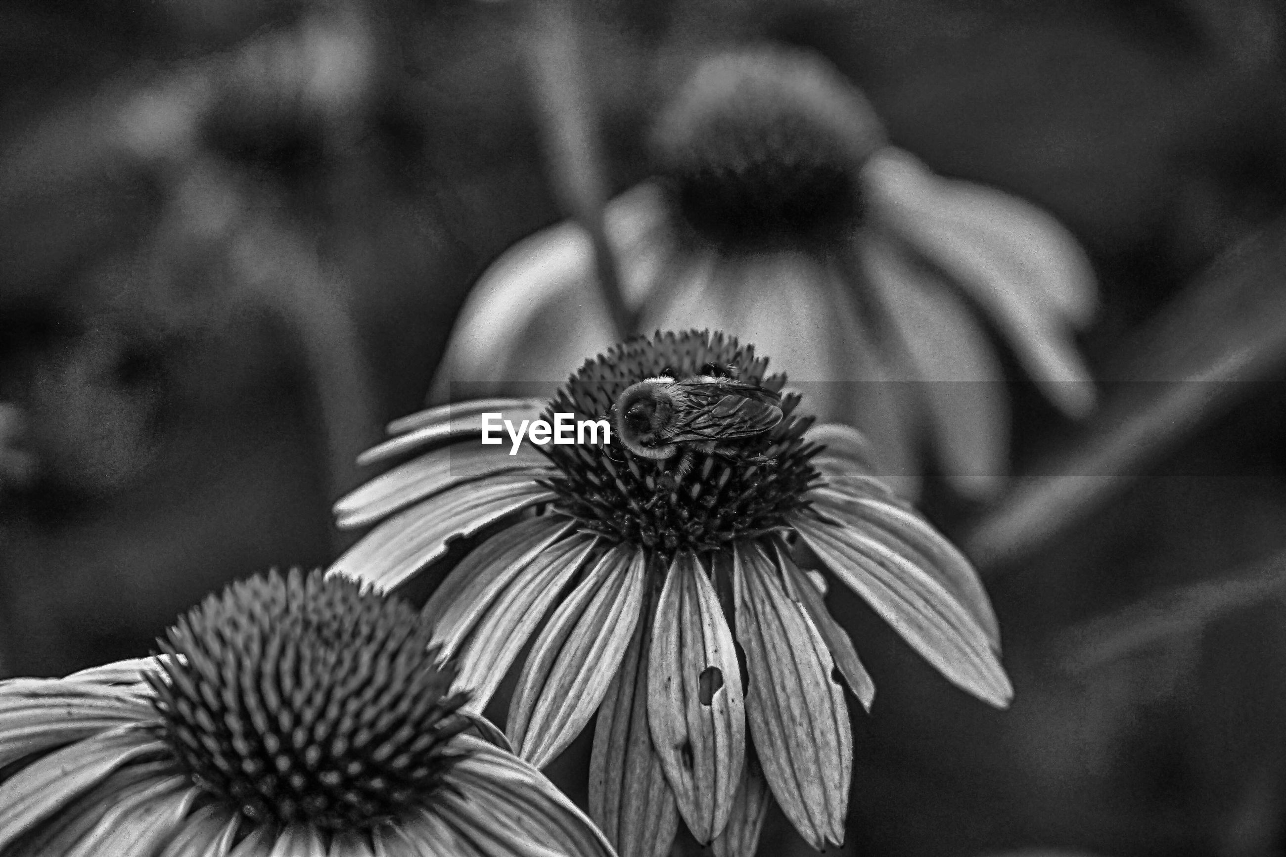 CLOSE-UP OF CONEFLOWERS