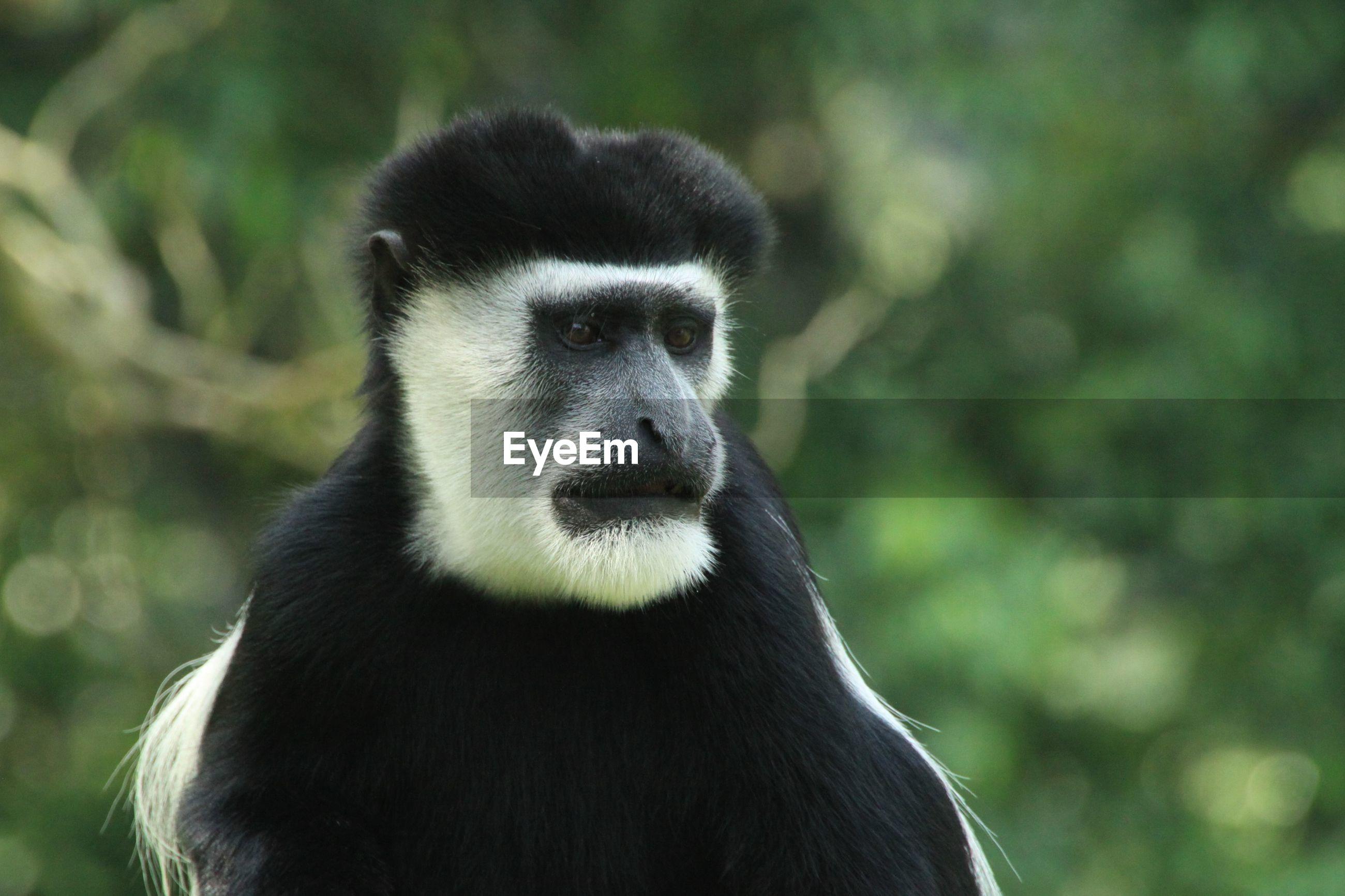 Portrait of a guereza monkey in uganda