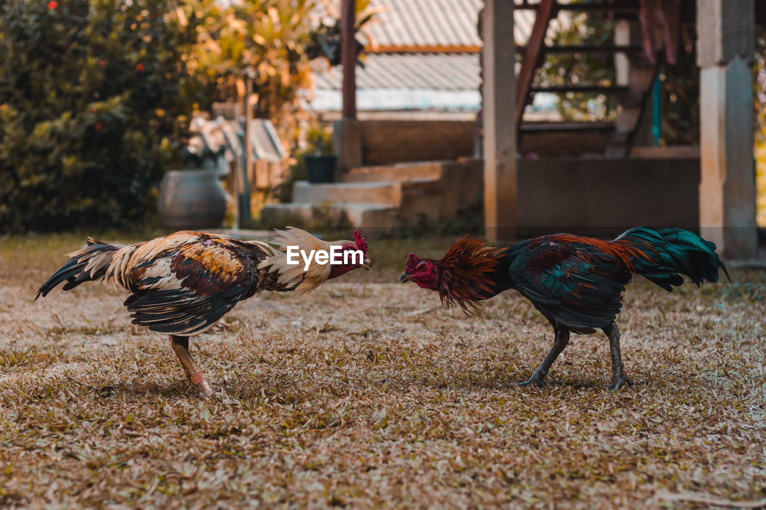Chicken fighting with chicken.