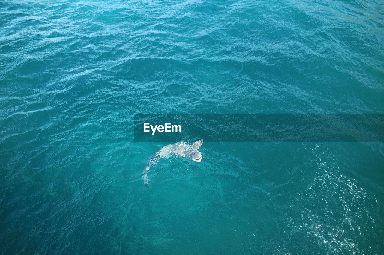 water, sea, animal, high angle view, animal themes, one animal, swimming, animals in the wild, waterfront, mammal, animal wildlife, nature, vertebrate, day, underwater, sea life, aquatic mammal, marine, no people, outdoors, turquoise colored