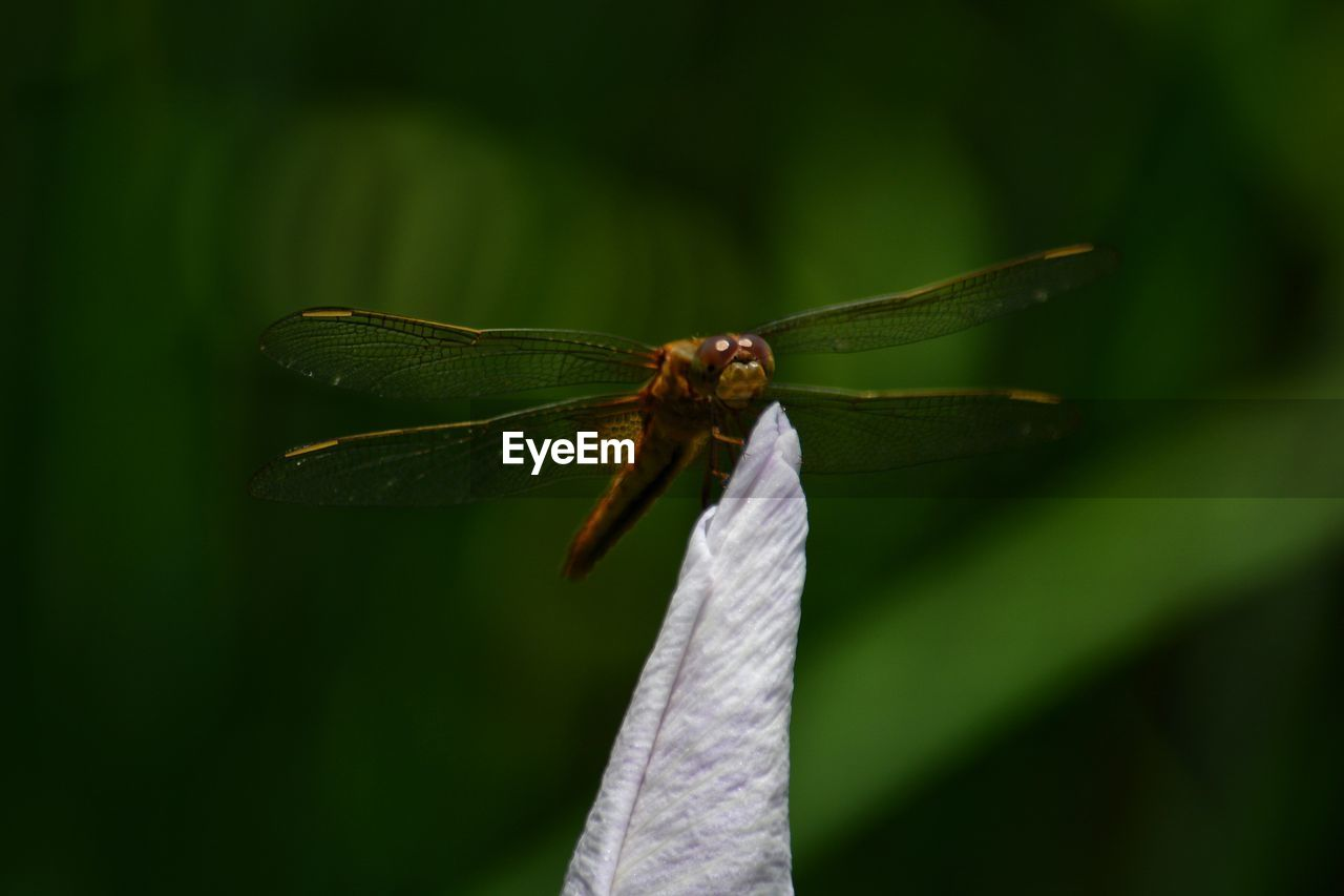 insect, invertebrate, close-up, animal themes, animal, animals in the wild, animal wildlife, one animal, focus on foreground, animal wing, green color, day, plant, leaf, plant part, no people, nature, dragonfly, selective focus, outdoors