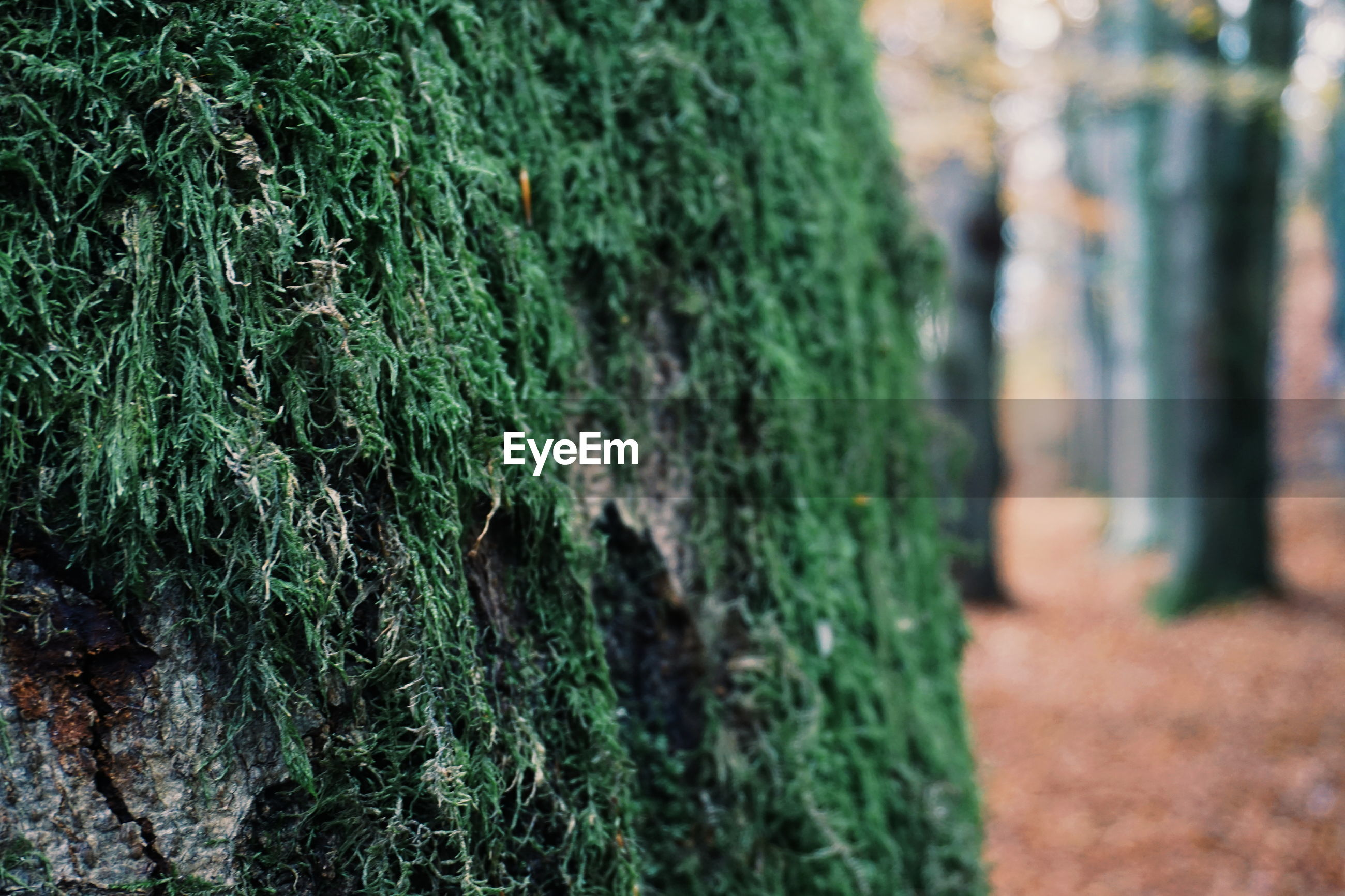 green color, nature, tree trunk, day, outdoors, no people, tree, focus on foreground, growth, beauty in nature, moss, close-up
