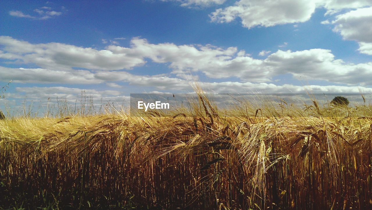 agriculture, field, growth, crop, farm, sky, rural scene, nature, landscape, tranquility, tranquil scene, cereal plant, no people, plant, day, wheat, beauty in nature, outdoors, scenics, cloud - sky, grass