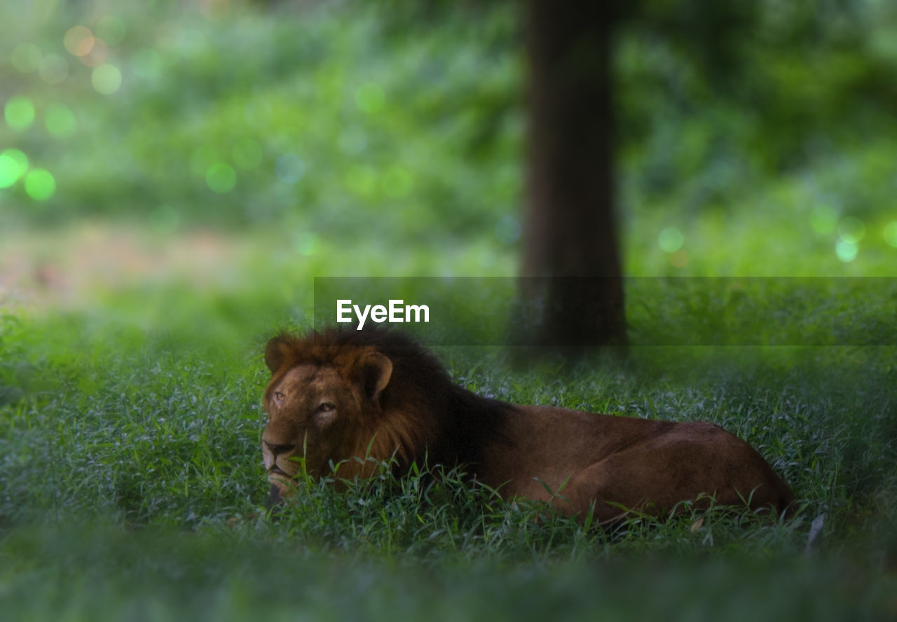 Lion Lying On Field