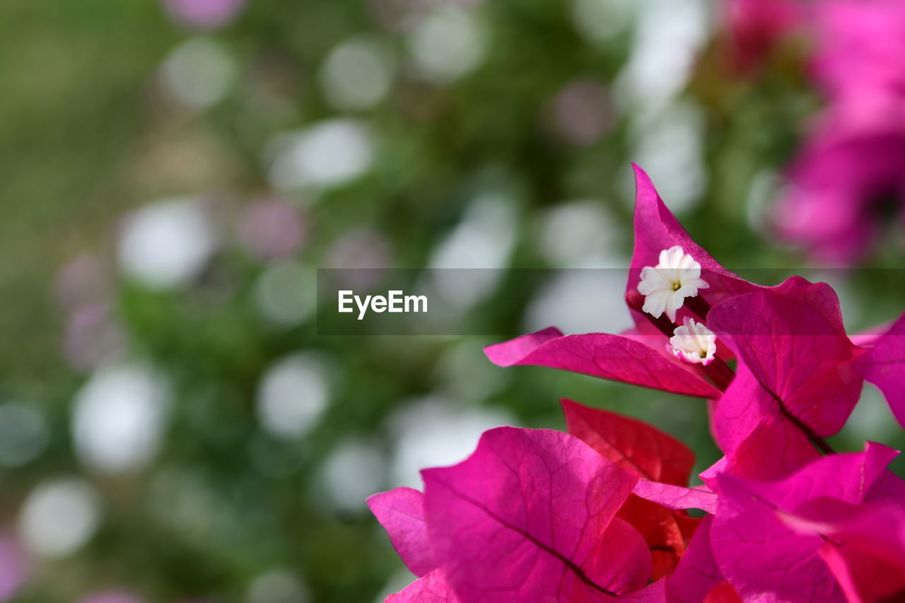 flowering plant, flower, beauty in nature, petal, plant, freshness, vulnerability, close-up, fragility, flower head, growth, pink color, inflorescence, nature, day, no people, focus on foreground, outdoors, plant part, leaf, springtime, purple