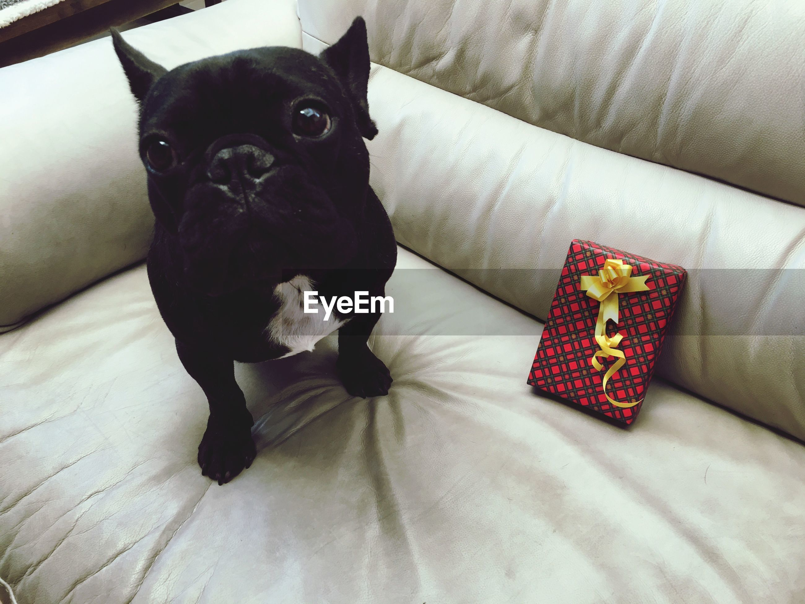 pets, one animal, looking at camera, domestic animals, dog, portrait, animal themes, mammal, boston terrier, no people, indoors, pug, day