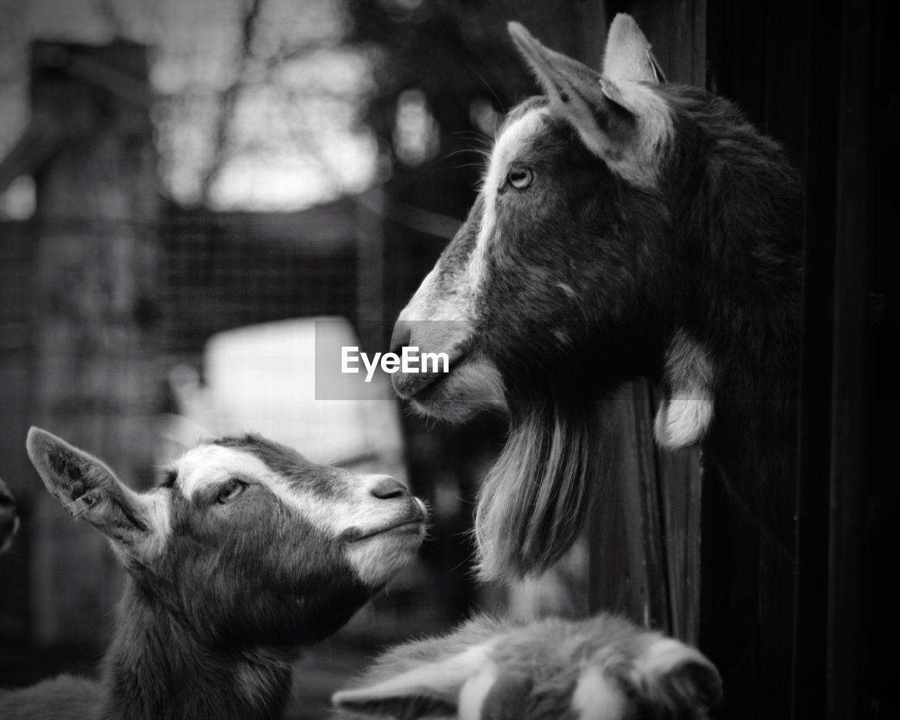 Close-up of goats