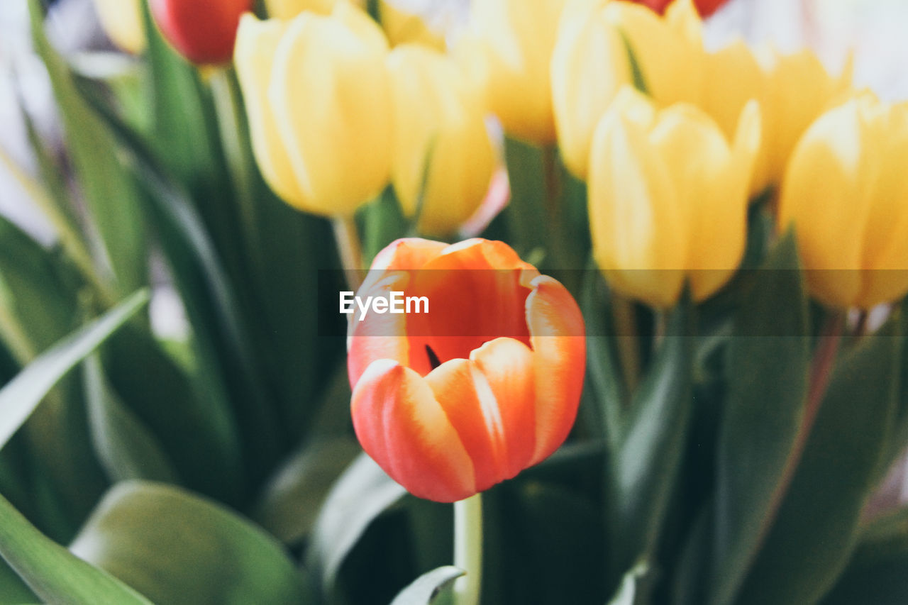 Close-Up Of Orange Tulips Blooming Outdoors