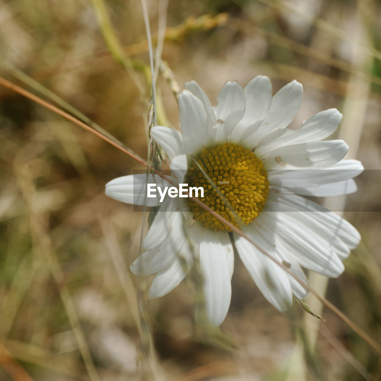 flowering plant, flower, fragility, vulnerability, plant, freshness, beauty in nature, growth, flower head, close-up, inflorescence, petal, white color, focus on foreground, no people, pollen, nature, day, selective focus, softness, dandelion seed
