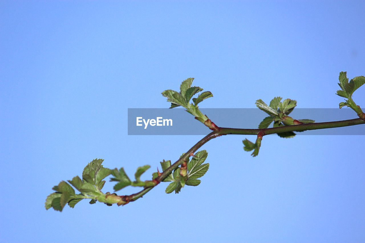sky, plant, clear sky, low angle view, growth, leaf, plant part, blue, copy space, nature, beauty in nature, no people, day, green color, freshness, outdoors, close-up, flower, tree, tranquility