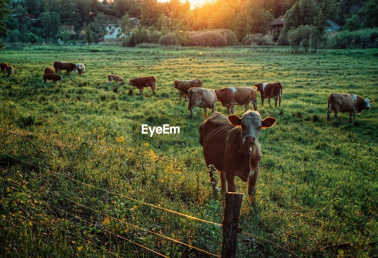 mammal, domestic, livestock, domestic animals, animal, animal themes, plant, pets, grass, group of animals, land, field, landscape, nature, vertebrate, cattle, large group of animals, no people, grazing, beauty in nature, outdoors, herd, herbivorous
