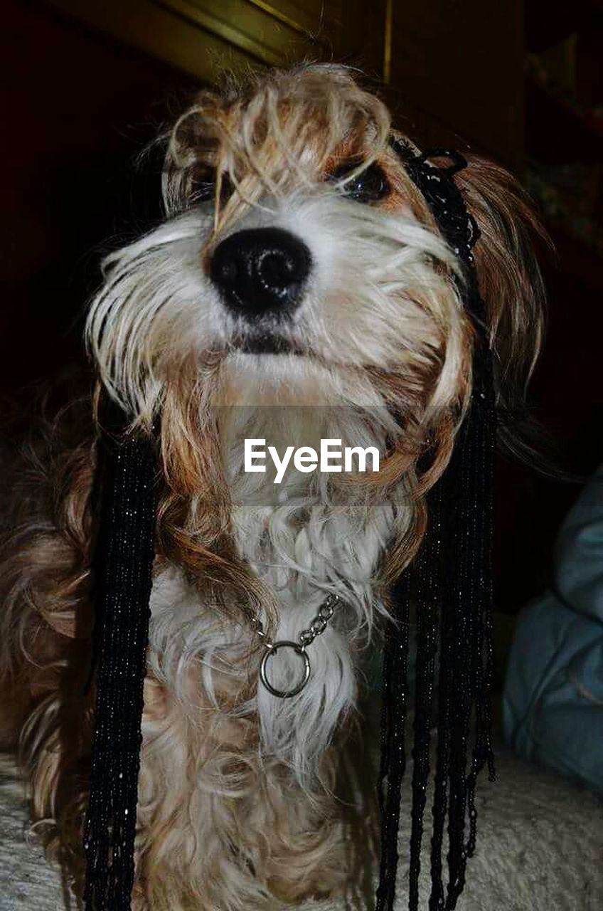 dog, pets, domestic animals, one animal, animal themes, mammal, animal hair, hairy, close-up, portrait, indoors, no people, day