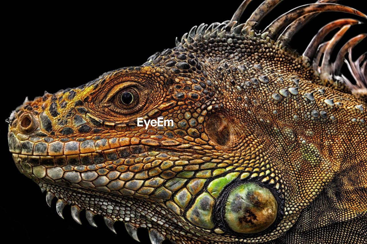 Close-Up Of Bearded Dragon Against Black Background