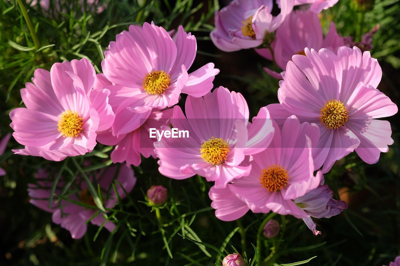 CLOSE-UP OF FRESH PINK FLOWERS BLOOMING OUTDOORS