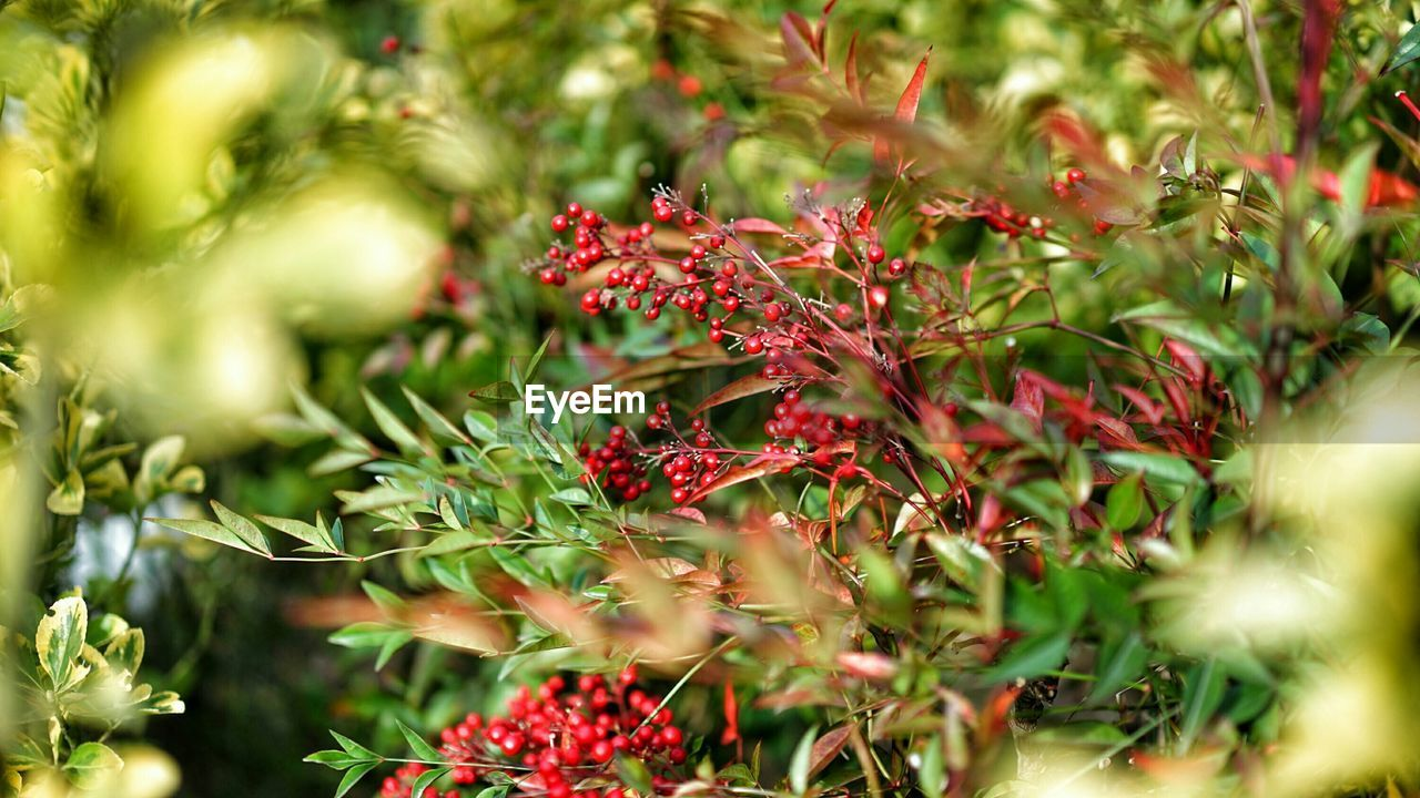 red, growth, fruit, selective focus, nature, no people, plant, freshness, outdoors, day, beauty in nature, food, close-up