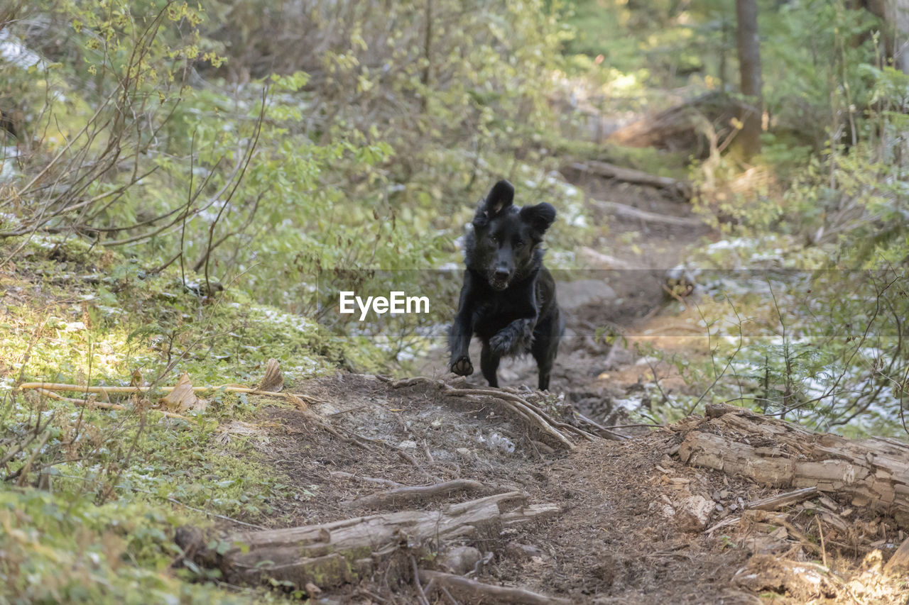 mammal, domestic, pets, one animal, domestic animals, canine, dog, black color, vertebrate, land, nature, tree, day, no people, plant, selective focus, field