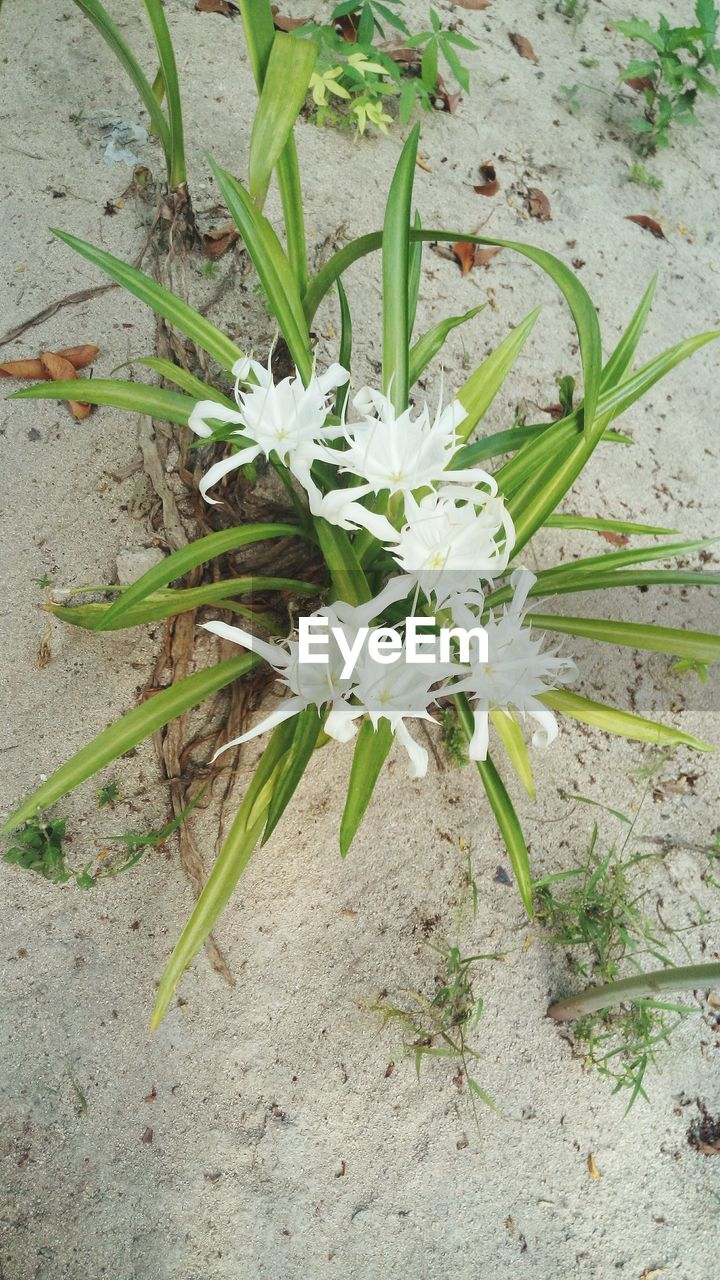 flower, white color, growth, nature, fragility, high angle view, plant, petal, no people, freshness, day, flower head, beauty in nature, close-up, outdoors, blooming