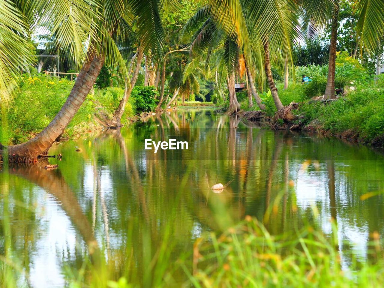 reflection, tree, plant, water, tranquility, tranquil scene, tropical climate, green color, scenics - nature, beauty in nature, palm tree, lake, nature, growth, no people, land, forest, day, non-urban scene, outdoors, coconut palm tree, rainforest
