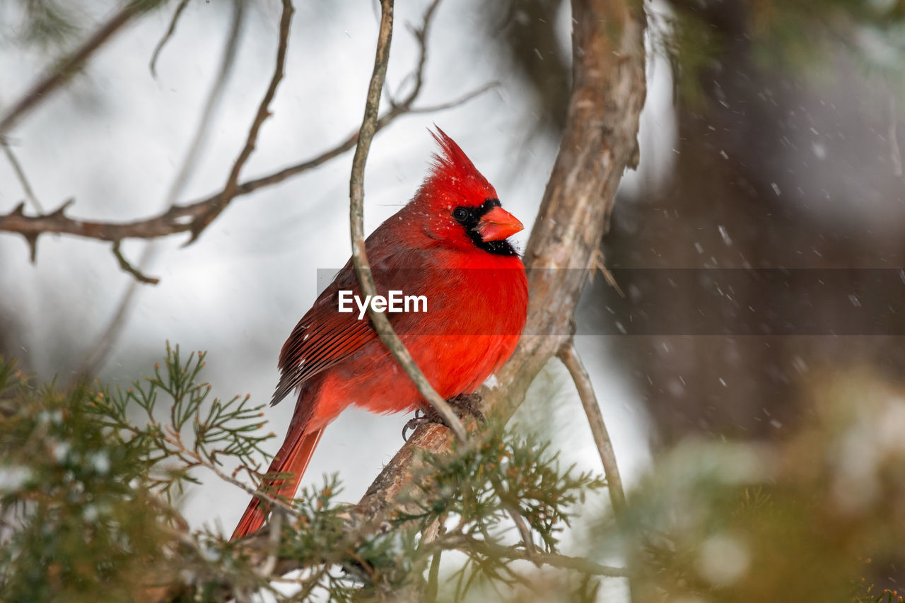 bird, tree, vertebrate, animal, animal wildlife, animal themes, animals in the wild, red, one animal, branch, perching, cardinal - bird, plant, winter, day, nature, cold temperature, selective focus, no people